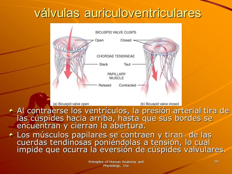 Principles of Human Anatomy and Physiology, 11e 29 Al contraerse los ventrículos, la presión arterial tira de las cúspides hacia arriba, hasta que sus