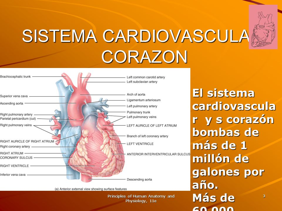 Principles of Human Anatomy and Physiology, 11e 84 Reglamento de la frecuencia cardíaca