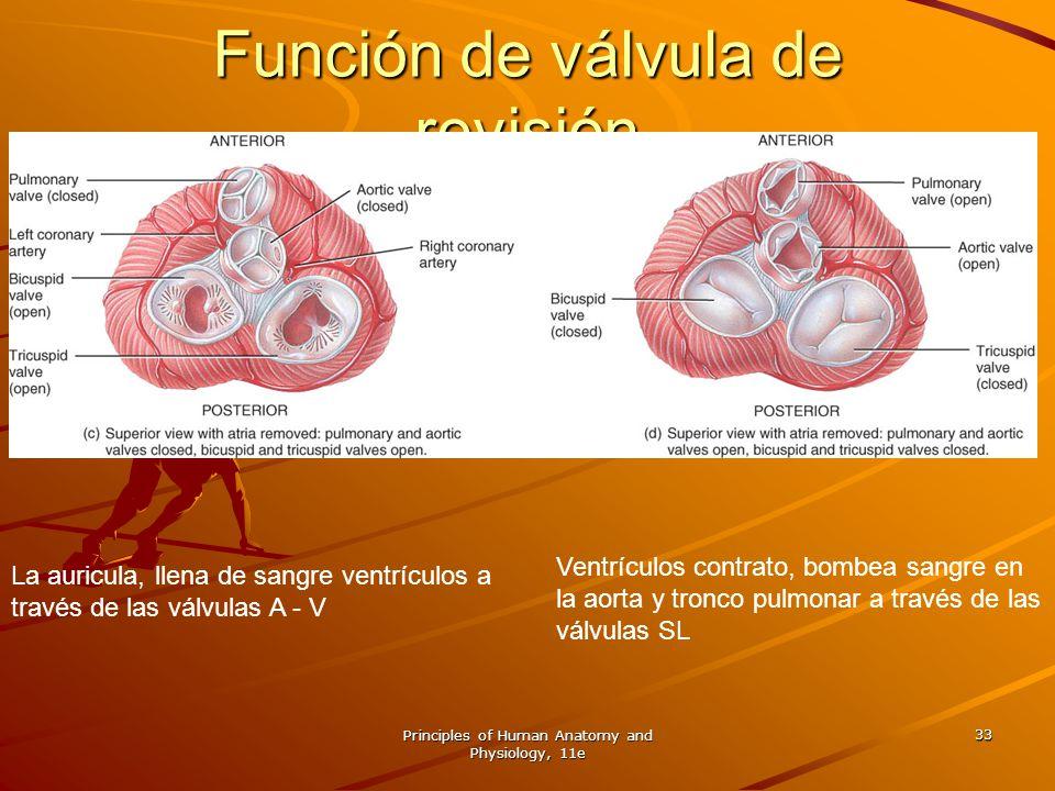 Principles of Human Anatomy and Physiology, 11e 33 La auricula, llena de sangre ventrículos a través de las válvulas A - V Ventrículos contrato, bombe