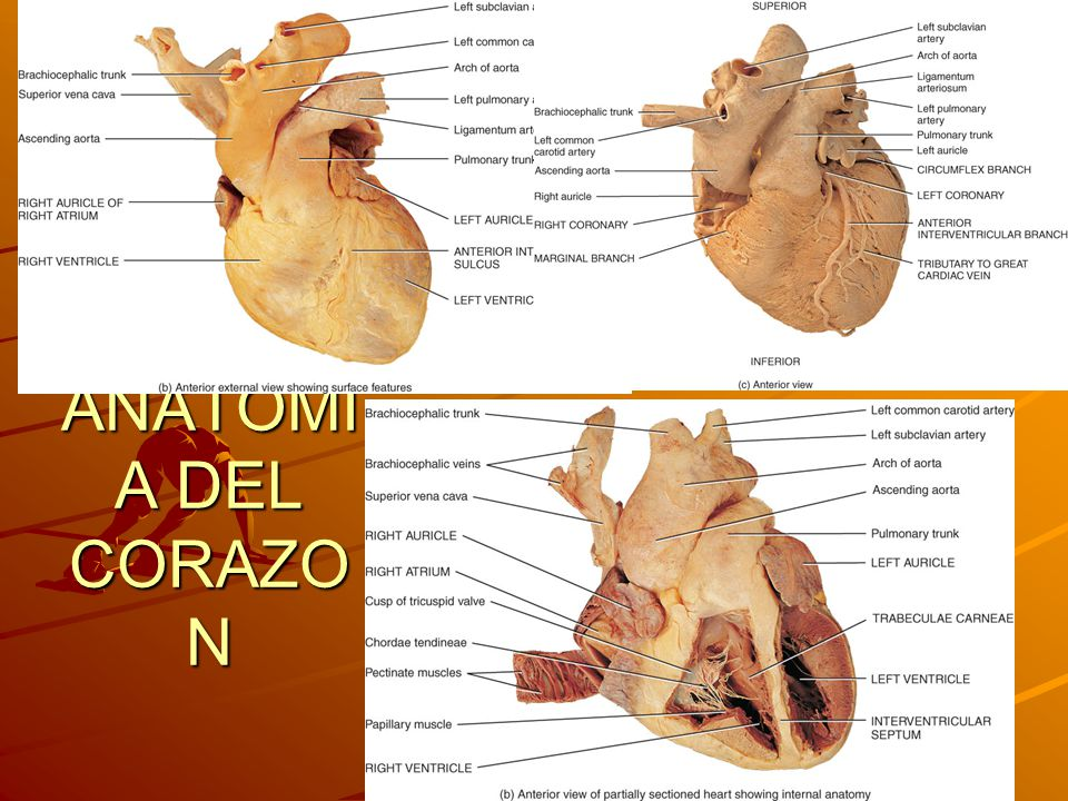 Principles of Human Anatomy and Physiology, 11e 4 ANATOMI A DEL CORAZO N