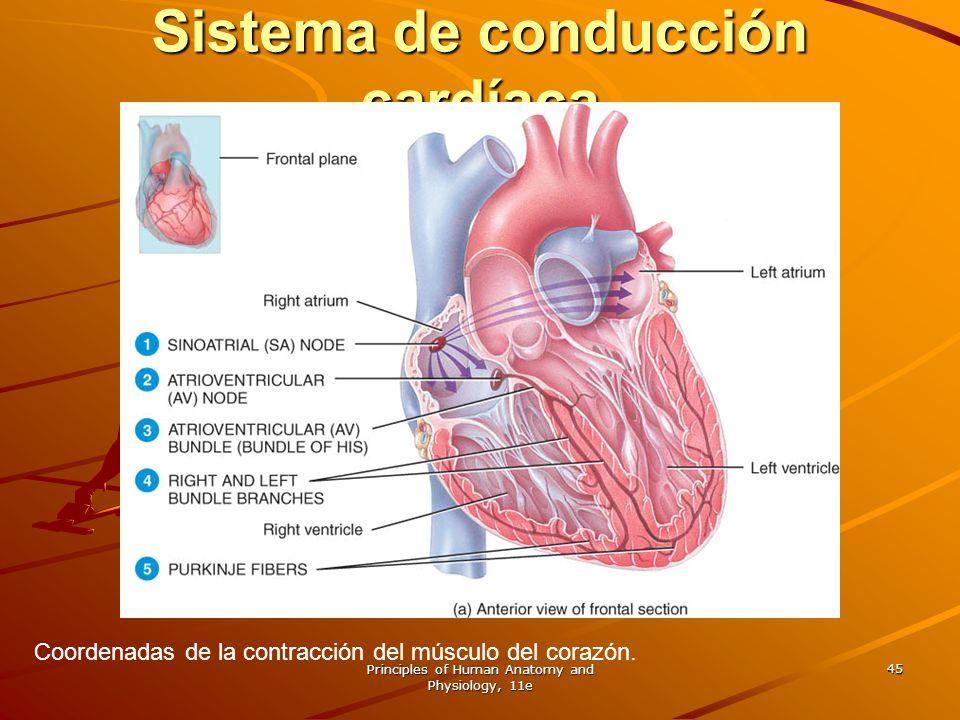 Principles of Human Anatomy and Physiology, 11e 45 Sistema de conducción cardíaca Coordenadas de la contracción del músculo del corazón.