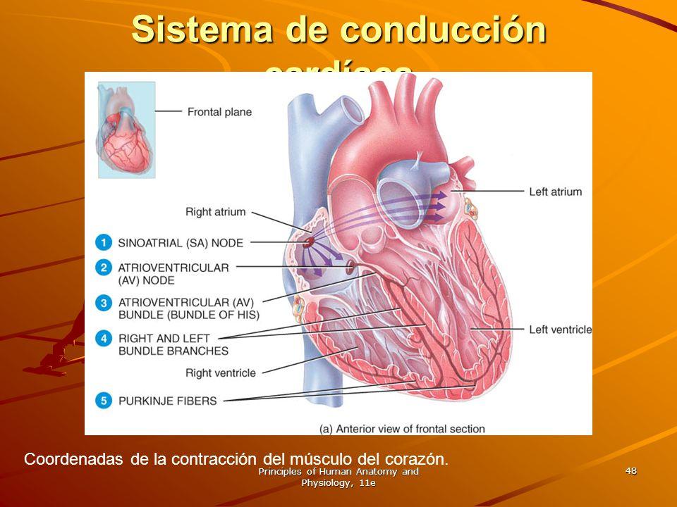 Principles of Human Anatomy and Physiology, 11e 48 Sistema de conducción cardíaca Coordenadas de la contracción del músculo del corazón.