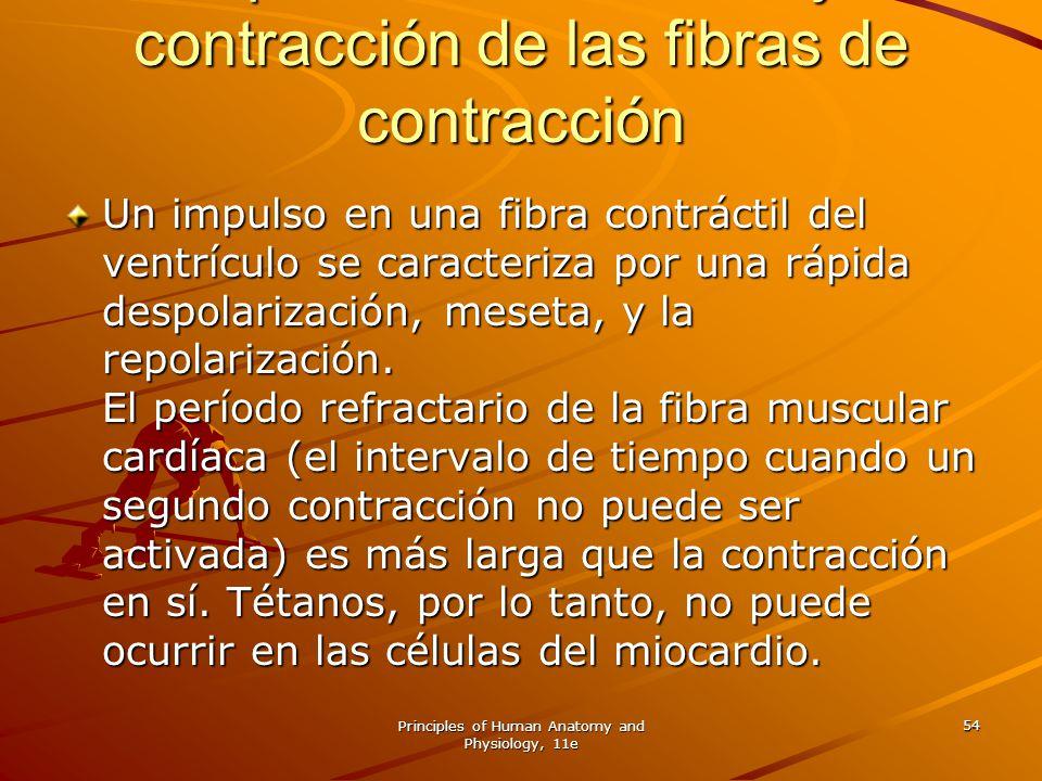 Principles of Human Anatomy and Physiology, 11e 54 Del potencial de acción y la contracción de las fibras de contracción Un impulso en una fibra contr
