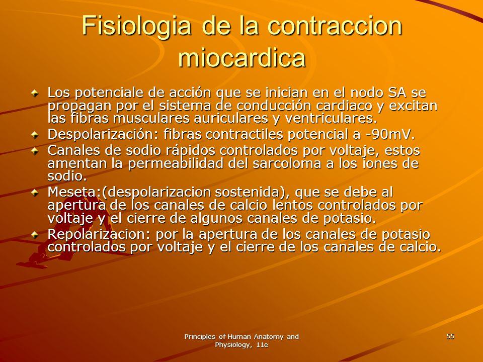 Principles of Human Anatomy and Physiology, 11e 55 Fisiologia de la contraccion miocardica Los potenciale de acción que se inician en el nodo SA se pr