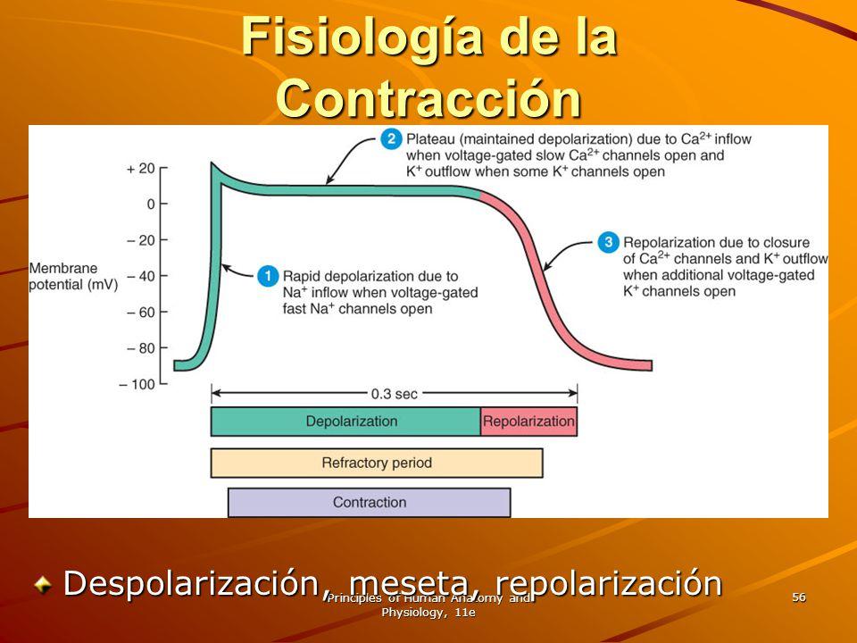 Principles of Human Anatomy and Physiology, 11e 56 Fisiología de la Contracción Despolarización, meseta, repolarización