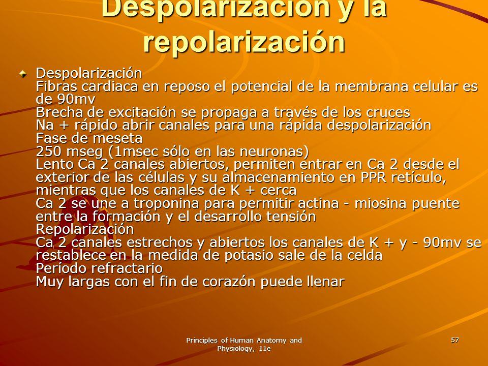 Principles of Human Anatomy and Physiology, 11e 57 Despolarización y la repolarización Despolarización Fibras cardiaca en reposo el potencial de la me