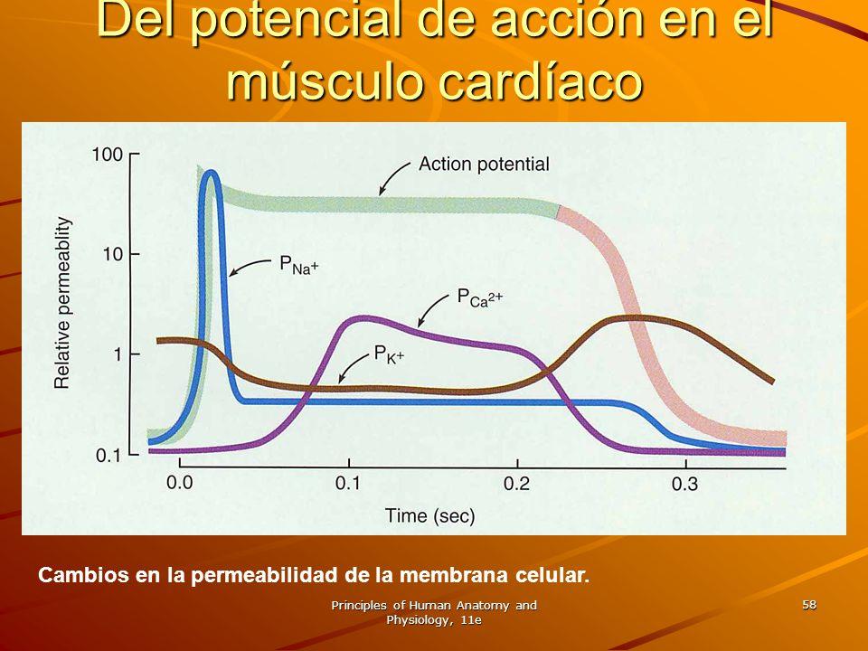 Principles of Human Anatomy and Physiology, 11e 58 Cambios en la permeabilidad de la membrana celular. Del potencial de acción en el músculo cardíaco