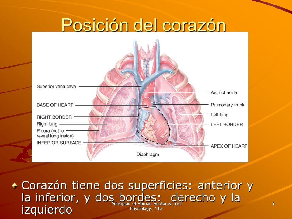 Principles of Human Anatomy and Physiology, 11e 9 Posición del corazón Corazón tiene dos superficies: anterior y la inferior, y dos bordes: derecho y