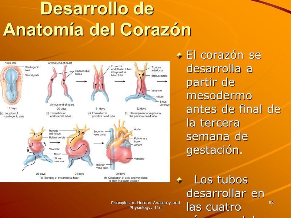 Principles of Human Anatomy and Physiology, 11e 92 Desarrollo de Anatomía del Corazón El corazón se desarrolla a partir de mesodermo antes de final de