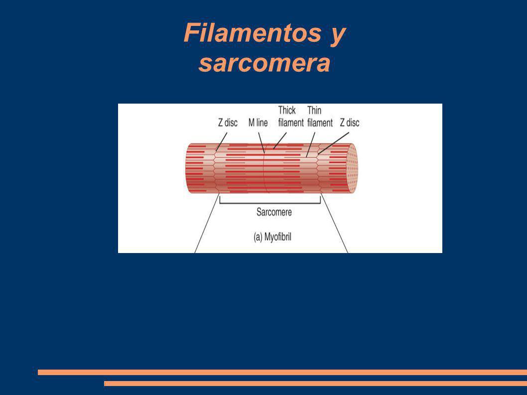 Filamentos y sarcomera