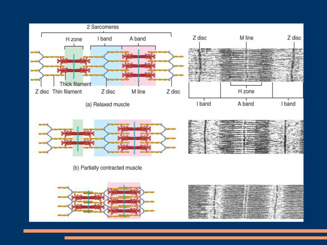 Proteinas Musculares Las miofibrillas estan formadas por tres tipos de proteinas: Contractiles Reguladoras Proteinas estructurales