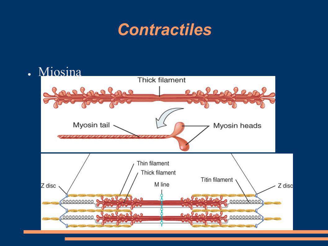 Contractiles Miosina