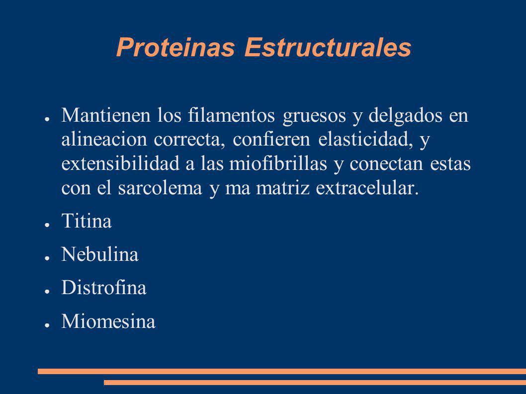 Proteinas Estructurales Mantienen los filamentos gruesos y delgados en alineacion correcta, confieren elasticidad, y extensibilidad a las miofibrillas