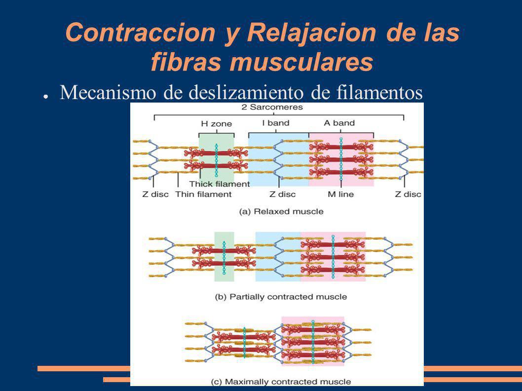Contraccion y Relajacion de las fibras musculares Mecanismo de deslizamiento de filamentos
