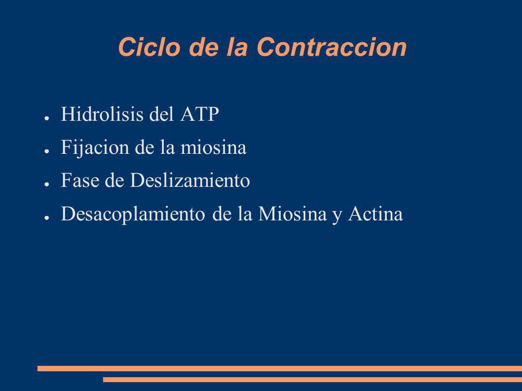 Ciclo de la Contraccion Hidrolisis del ATP Fijacion de la miosina Fase de Deslizamiento Desacoplamiento de la Miosina y Actina