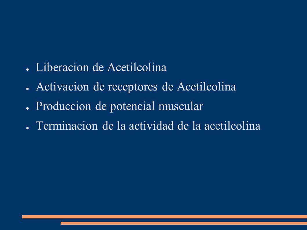 Liberacion de Acetilcolina Activacion de receptores de Acetilcolina Produccion de potencial muscular Terminacion de la actividad de la acetilcolina