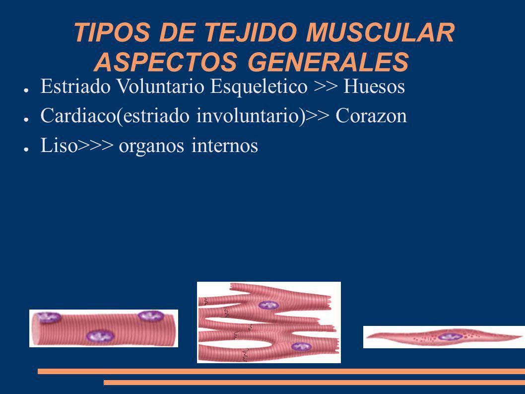 TIPOS DE TEJIDO MUSCULAR ASPECTOS GENERALES Estriado Voluntario Esqueletico >> Huesos Cardiaco(estriado involuntario)>> Corazon Liso>>> organos intern