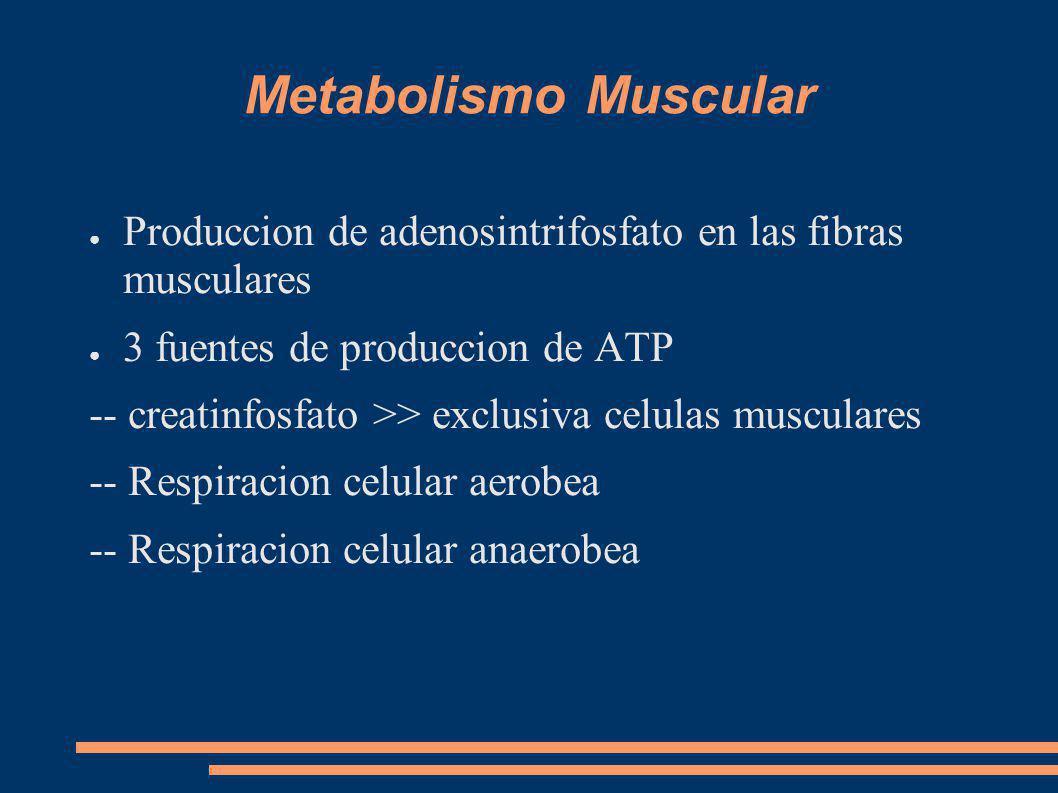 Metabolismo Muscular Produccion de adenosintrifosfato en las fibras musculares 3 fuentes de produccion de ATP -- creatinfosfato >> exclusiva celulas musculares -- Respiracion celular aerobea -- Respiracion celular anaerobea