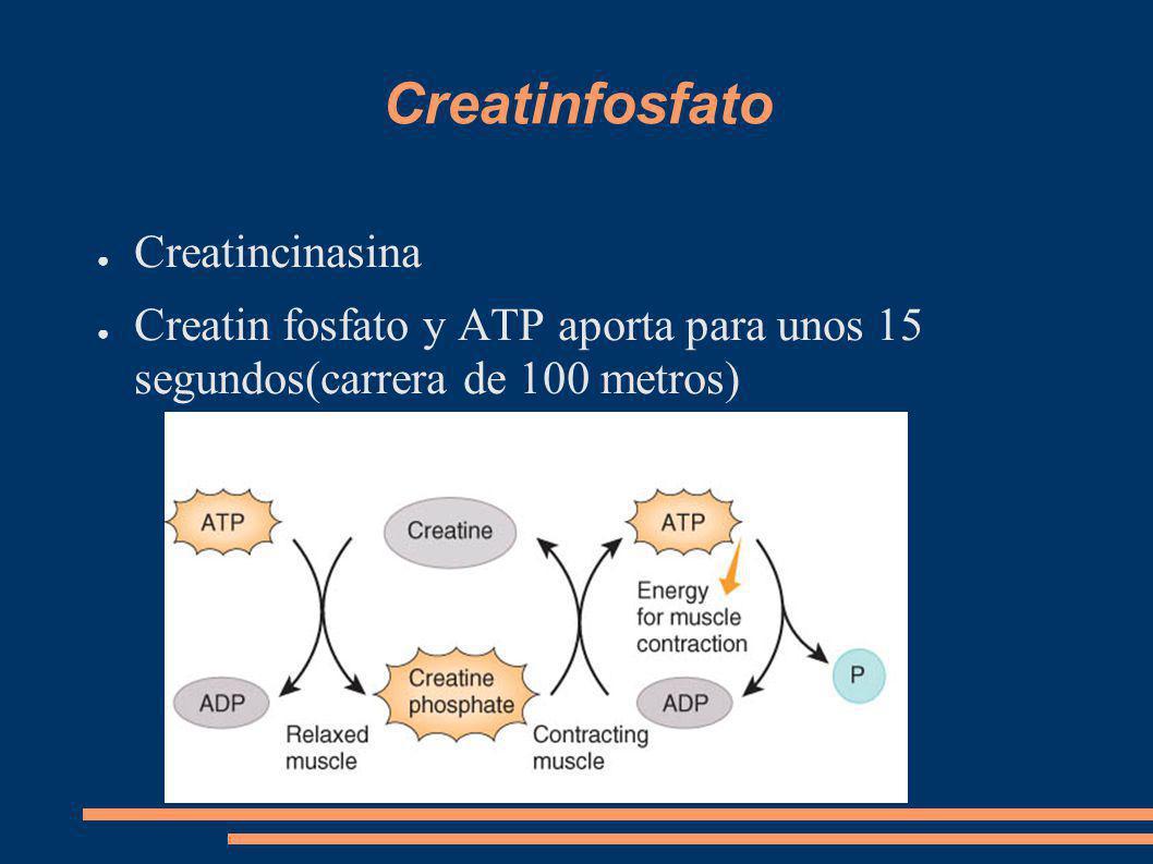 Creatinfosfato Creatincinasina Creatin fosfato y ATP aporta para unos 15 segundos(carrera de 100 metros)