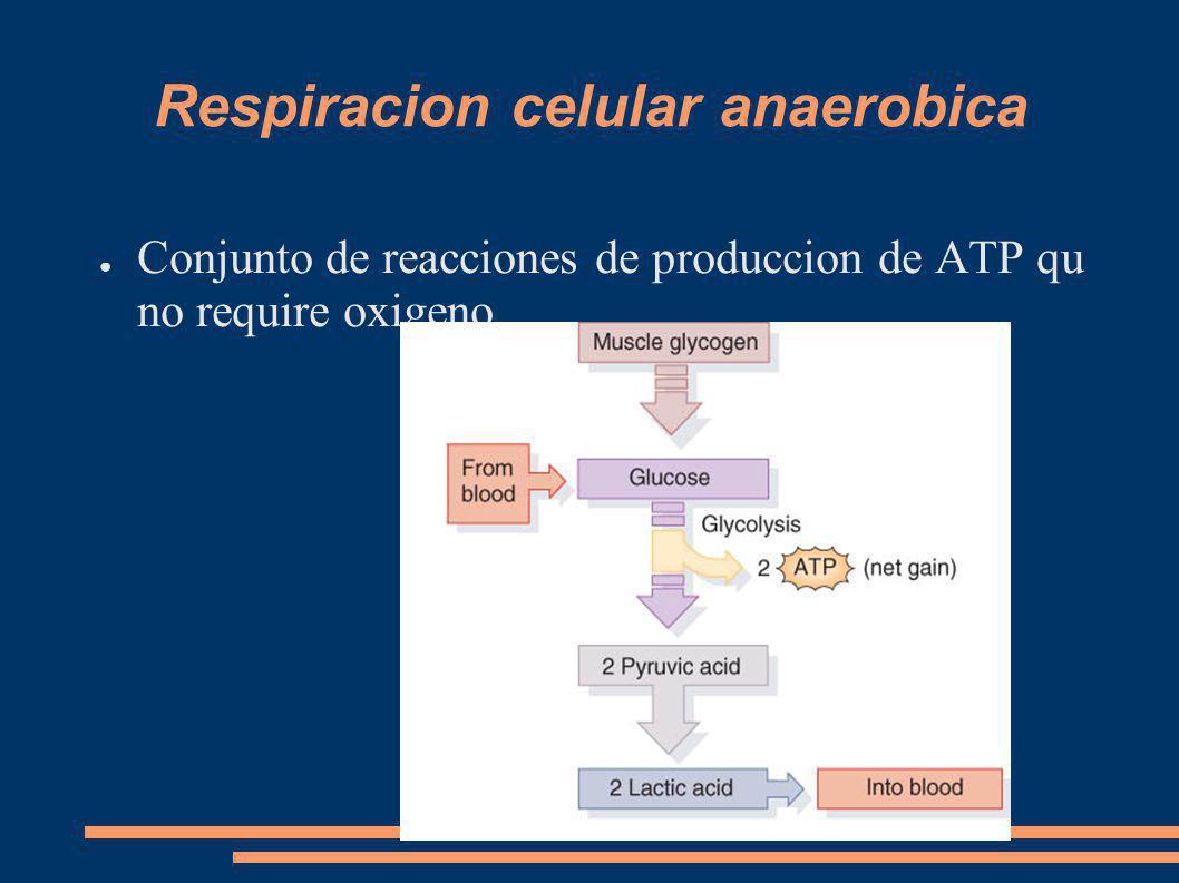 Respiracion Celular aerobica Duracion mayor de medio minuto Conjunto de reacciones mitocondriales en que se requiere oxigeno y produce ATP