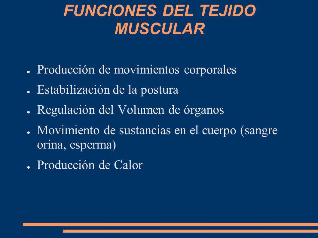 FUNCIONES DEL TEJIDO MUSCULAR Producción de movimientos corporales Estabilización de la postura Regulación del Volumen de órganos Movimiento de sustan