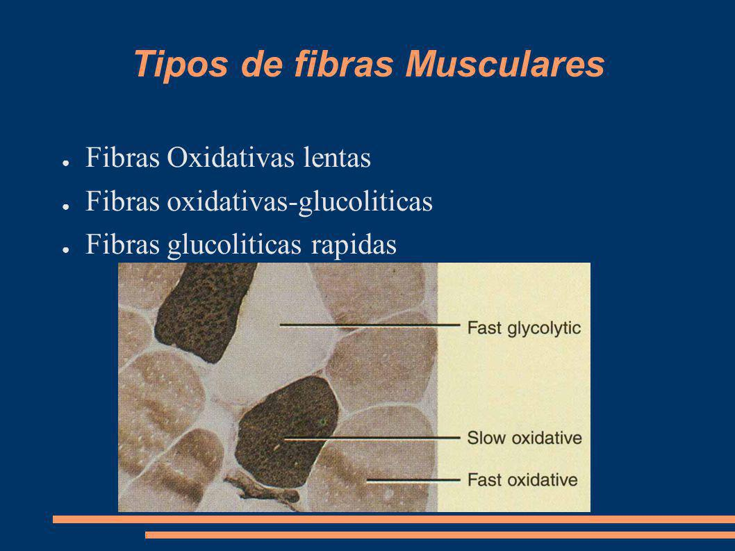 Tipos de fibras Musculares Fibras Oxidativas lentas Fibras oxidativas-glucoliticas Fibras glucoliticas rapidas