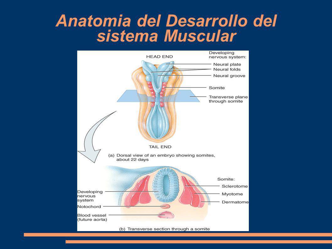 Anatomia del Desarrollo del sistema Muscular