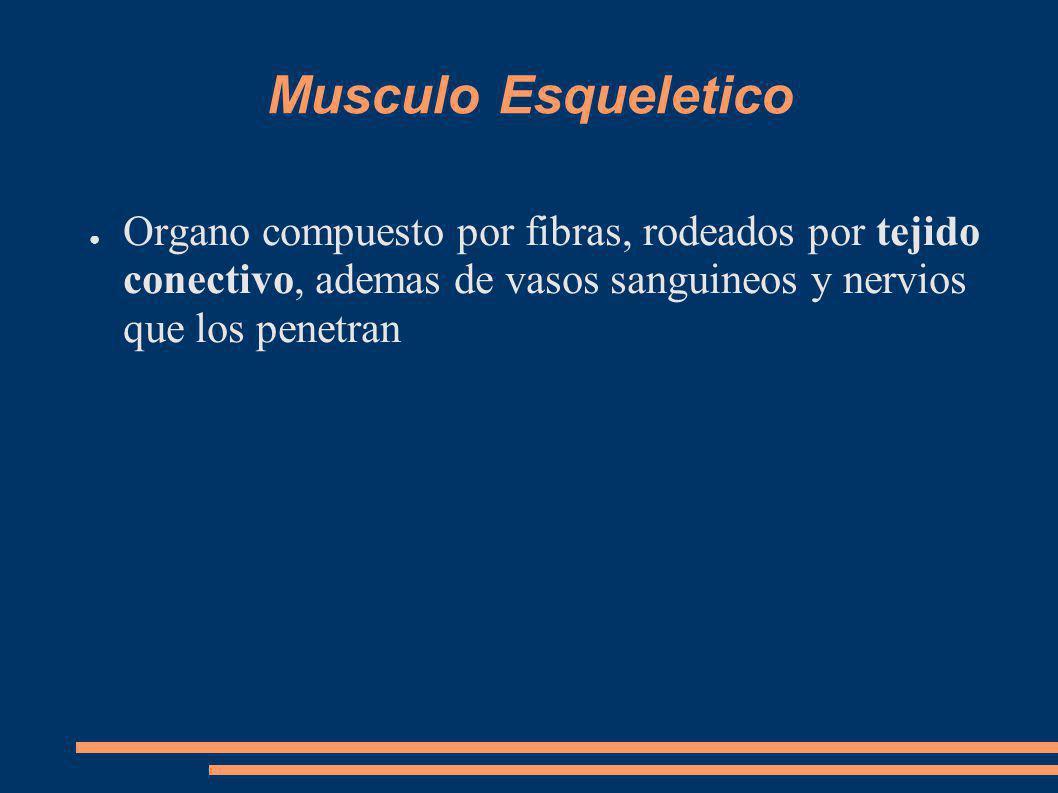 Musculo Esqueletico Organo compuesto por fibras, rodeados por tejido conectivo, ademas de vasos sanguineos y nervios que los penetran