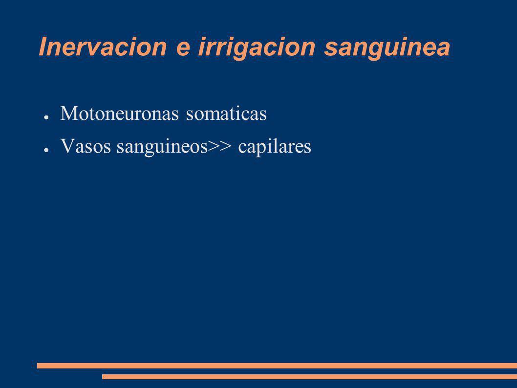 Inervacion e irrigacion sanguinea Motoneuronas somaticas Vasos sanguineos>> capilares