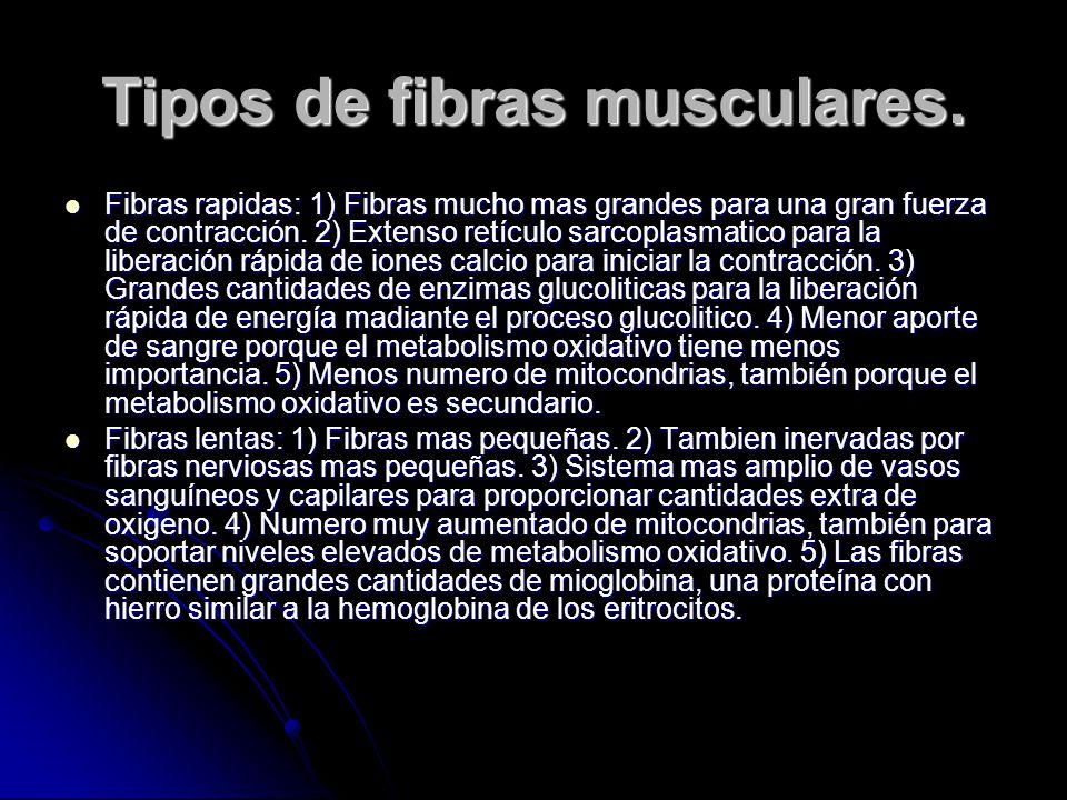 Tipos de fibras musculares. Fibras rapidas: 1) Fibras mucho mas grandes para una gran fuerza de contracción. 2) Extenso retículo sarcoplasmatico para