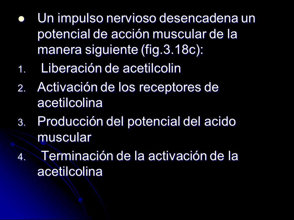 Un impulso nervioso desencadena un potencial de acción muscular de la manera siguiente (fig.3.18c): Un impulso nervioso desencadena un potencial de ac