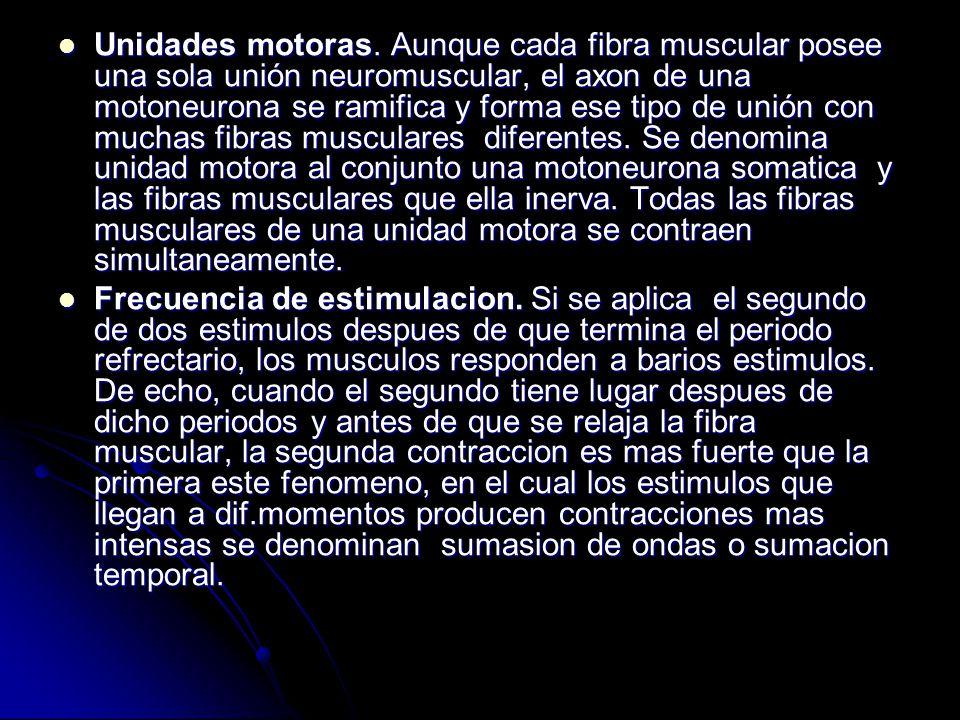 Unidades motoras. Aunque cada fibra muscular posee una sola unión neuromuscular, el axon de una motoneurona se ramifica y forma ese tipo de unión con