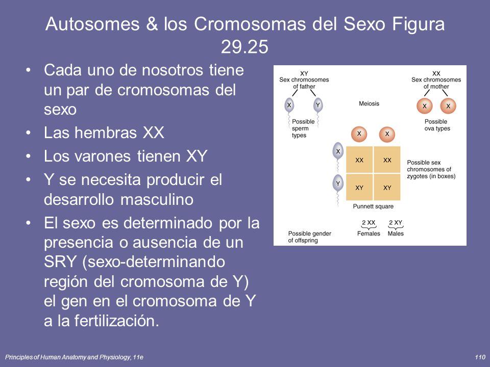 Principles of Human Anatomy and Physiology, 11e110 Autosomes & los Cromosomas del Sexo Figura 29.25 Cada uno de nosotros tiene un par de cromosomas del sexo Las hembras XX Los varones tienen XY Y se necesita producir el desarrollo masculino El sexo es determinado por la presencia o ausencia de un SRY (sexo-determinando región del cromosoma de Y) el gen en el cromosoma de Y a la fertilización.