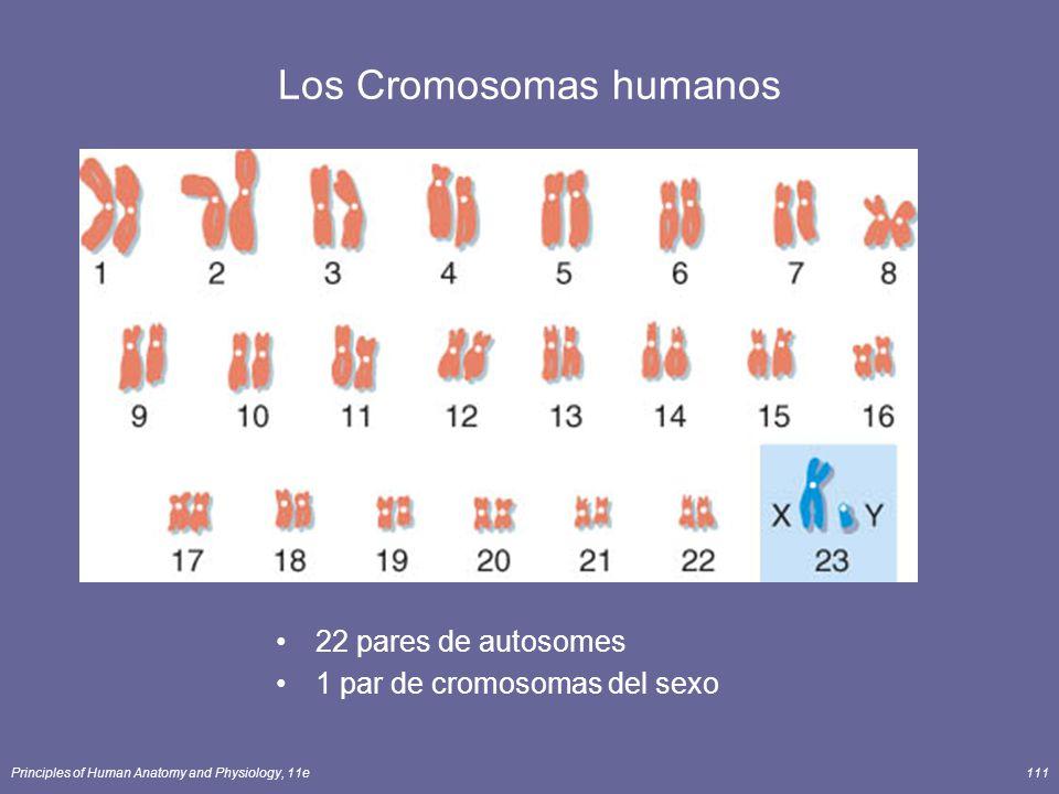 Principles of Human Anatomy and Physiology, 11e111 Los Cromosomas humanos 22 pares de autosomes 1 par de cromosomas del sexo