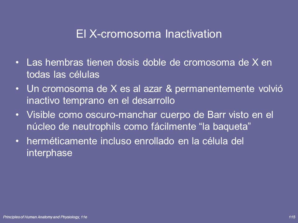 Principles of Human Anatomy and Physiology, 11e115 El X-cromosoma Inactivation Las hembras tienen dosis doble de cromosoma de X en todas las células Un cromosoma de X es al azar & permanentemente volvió inactivo temprano en el desarrollo Visible como oscuro-manchar cuerpo de Barr visto en el núcleo de neutrophils como fácilmente la baqueta herméticamente incluso enrollado en la célula del interphase