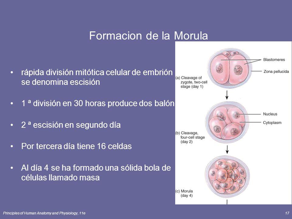Principles of Human Anatomy and Physiology, 11e17 Formacion de la Morula rápida división mitótica celular de embrión se denomina escisión 1 ª división en 30 horas produce dos balón 2 ª escisión en segundo día Por tercera día tiene 16 celdas Al día 4 se ha formado una sólida bola de células llamado masa