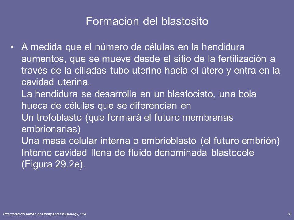 Principles of Human Anatomy and Physiology, 11e18 Formacion del blastosito A medida que el número de células en la hendidura aumentos, que se mueve de