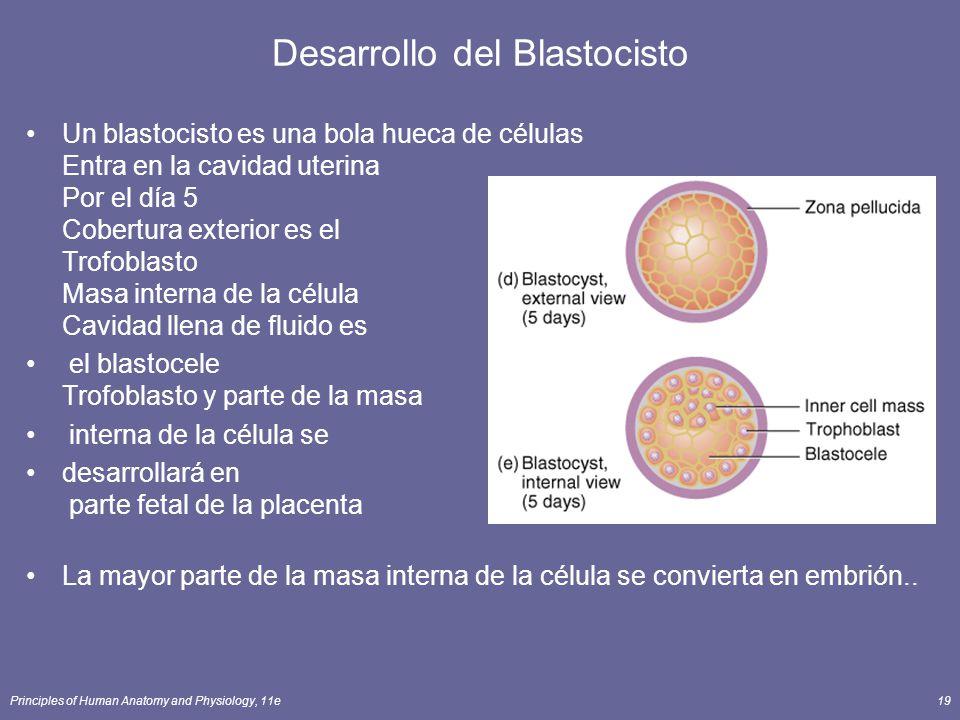 Principles of Human Anatomy and Physiology, 11e19 Desarrollo del Blastocisto Un blastocisto es una bola hueca de células Entra en la cavidad uterina Por el día 5 Cobertura exterior es el Trofoblasto Masa interna de la célula Cavidad llena de fluido es el blastocele Trofoblasto y parte de la masa interna de la célula se desarrollará en parte fetal de la placenta La mayor parte de la masa interna de la célula se convierta en embrión..