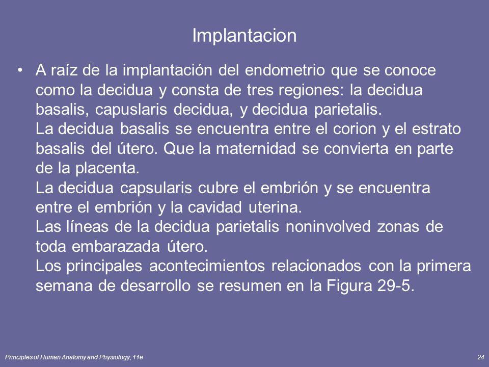Principles of Human Anatomy and Physiology, 11e24 Implantacion A raíz de la implantación del endometrio que se conoce como la decidua y consta de tres regiones: la decidua basalis, capuslaris decidua, y decidua parietalis.