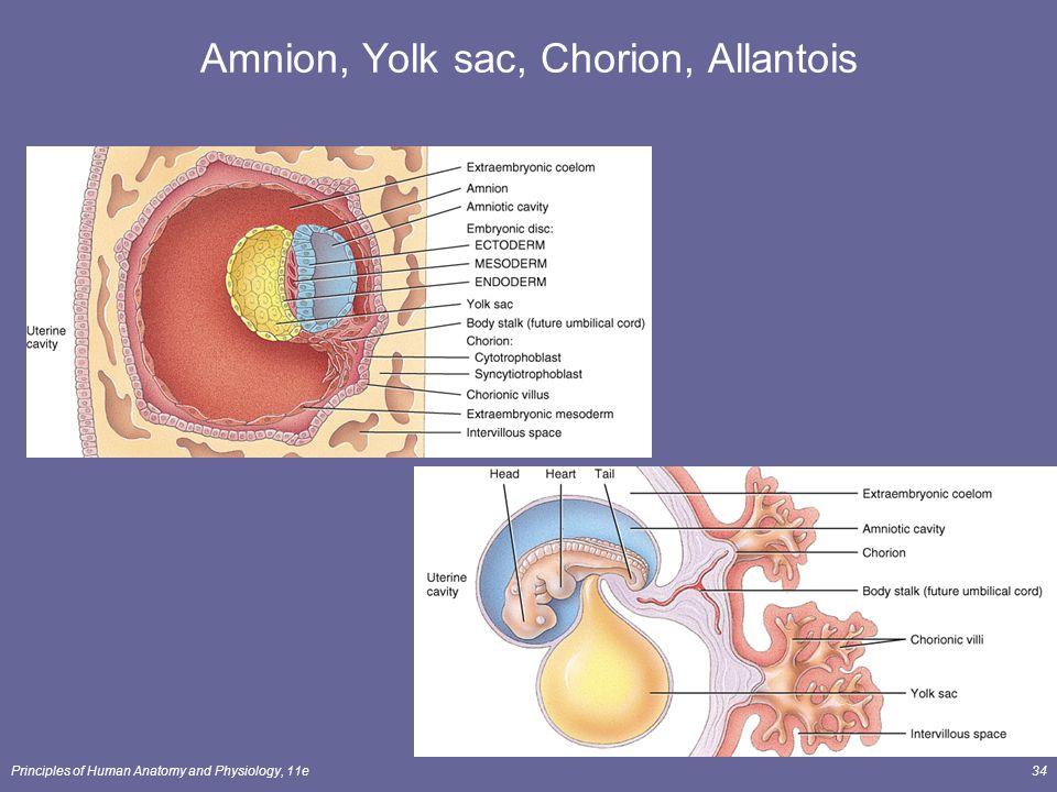 Principles of Human Anatomy and Physiology, 11e34 Amnion, Yolk sac, Chorion, Allantois