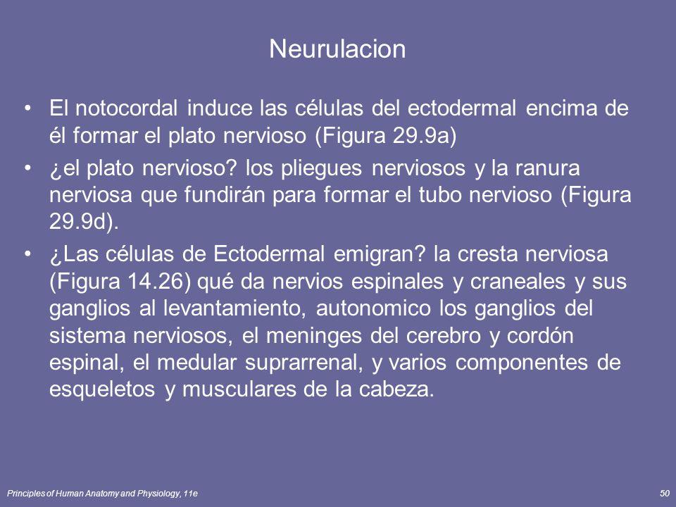 Principles of Human Anatomy and Physiology, 11e50 Neurulacion El notocordal induce las células del ectodermal encima de él formar el plato nervioso (Figura 29.9a) ¿el plato nervioso.