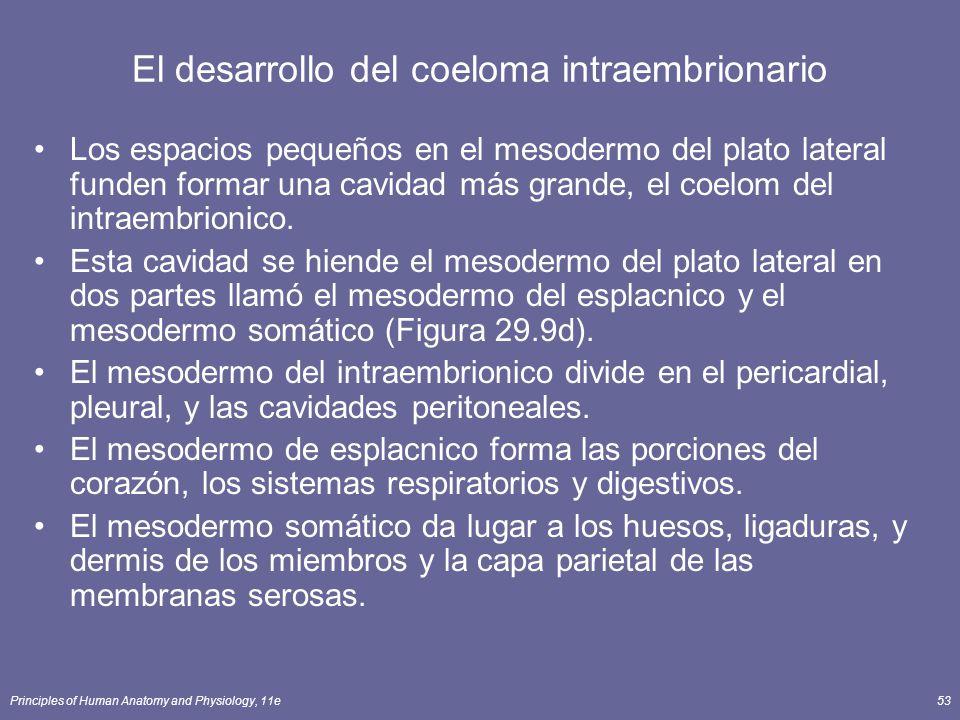 Principles of Human Anatomy and Physiology, 11e53 El desarrollo del coeloma intraembrionario Los espacios pequeños en el mesodermo del plato lateral funden formar una cavidad más grande, el coelom del intraembrionico.