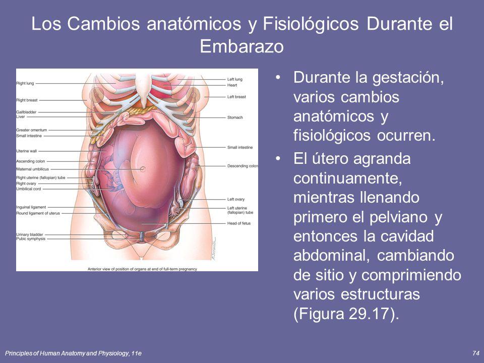 Principles of Human Anatomy and Physiology, 11e74 Los Cambios anatómicos y Fisiológicos Durante el Embarazo Durante la gestación, varios cambios anatómicos y fisiológicos ocurren.