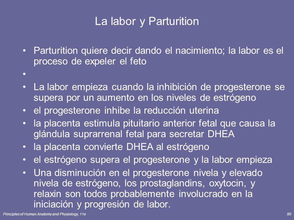 Principles of Human Anatomy and Physiology, 11e80 La labor y Parturition Parturition quiere decir dando el nacimiento; la labor es el proceso de expeler el feto La labor empieza cuando la inhibición de progesterone se supera por un aumento en los niveles de estrógeno el progesterone inhibe la reducción uterina la placenta estimula pituitario anterior fetal que causa la glándula suprarrenal fetal para secretar DHEA la placenta convierte DHEA al estrógeno el estrógeno supera el progesterone y la labor empieza Una disminución en el progesterone nivela y elevado nivela de estrógeno, los prostaglandins, oxytocin, y relaxin son todos probablemente involucrado en la iniciación y progresión de labor.