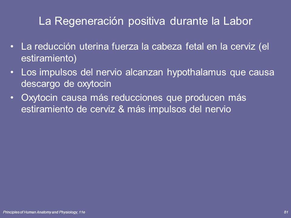 Principles of Human Anatomy and Physiology, 11e81 La Regeneración positiva durante la Labor La reducción uterina fuerza la cabeza fetal en la cerviz (