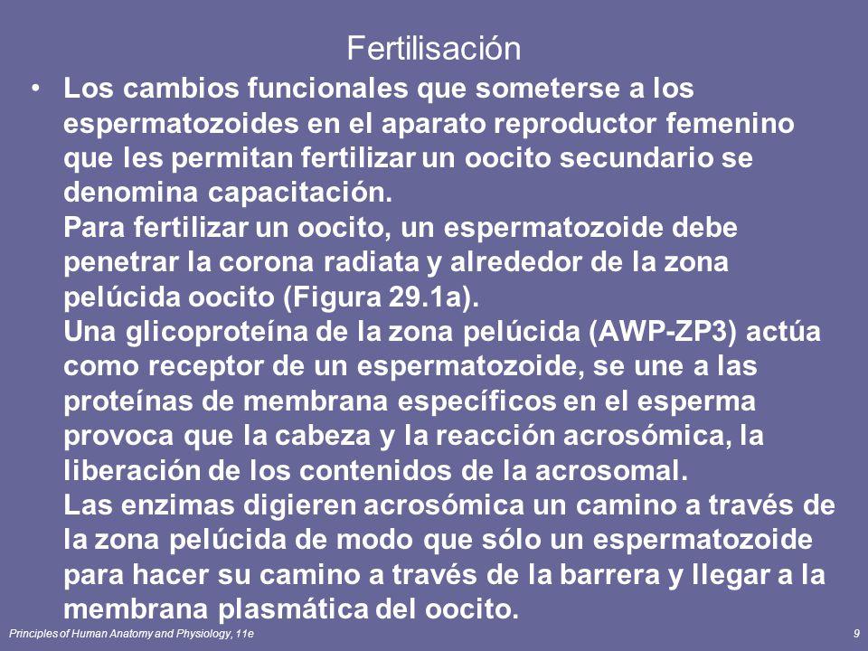 Principles of Human Anatomy and Physiology, 11e9 Fertilisación Los cambios funcionales que someterse a los espermatozoides en el aparato reproductor femenino que les permitan fertilizar un oocito secundario se denomina capacitación.