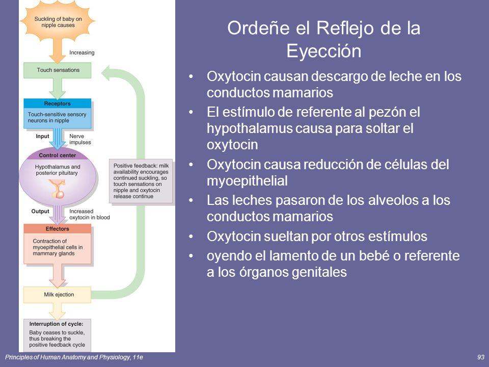 Principles of Human Anatomy and Physiology, 11e93 Ordeñe el Reflejo de la Eyección Oxytocin causan descargo de leche en los conductos mamarios El estímulo de referente al pezón el hypothalamus causa para soltar el oxytocin Oxytocin causa reducción de células del myoepithelial Las leches pasaron de los alveolos a los conductos mamarios Oxytocin sueltan por otros estímulos oyendo el lamento de un bebé o referente a los órganos genitales