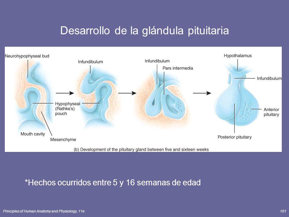 Principles of Human Anatomy and Physiology, 11e101 Desarrollo de la glándula pituitaria *Hechos ocurridos entre 5 y 16 semanas de edad
