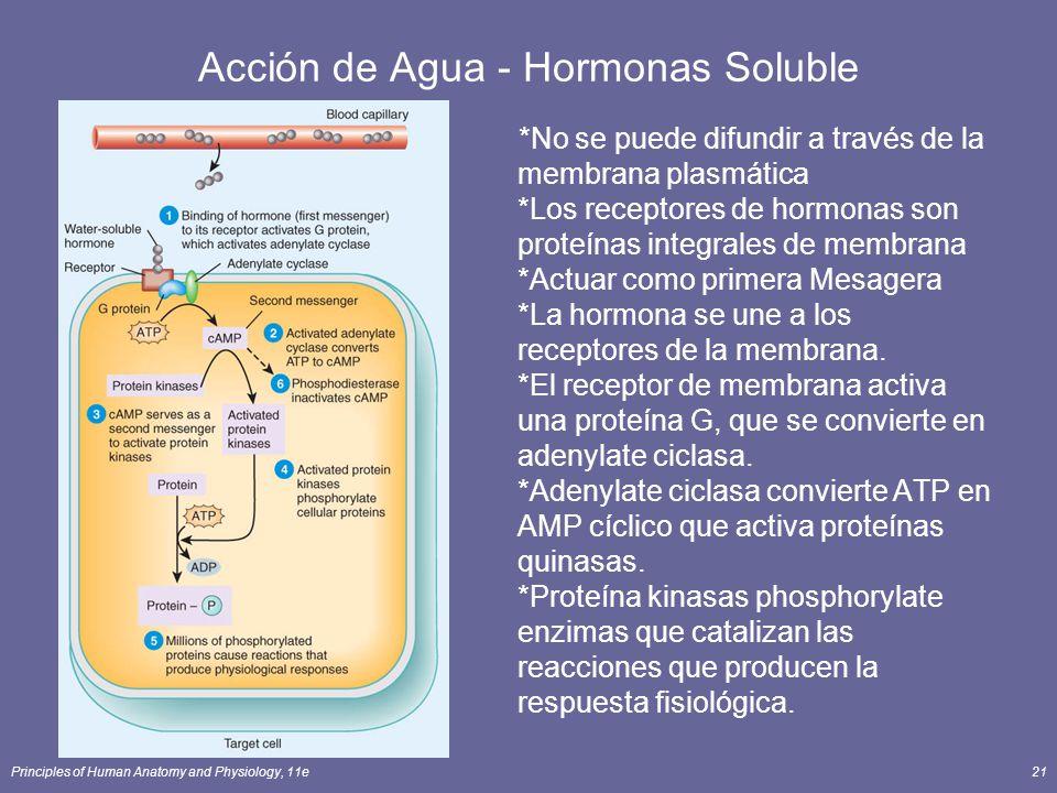 Principles of Human Anatomy and Physiology, 11e21 Acción de Agua - Hormonas Soluble *No se puede difundir a través de la membrana plasmática *Los rece