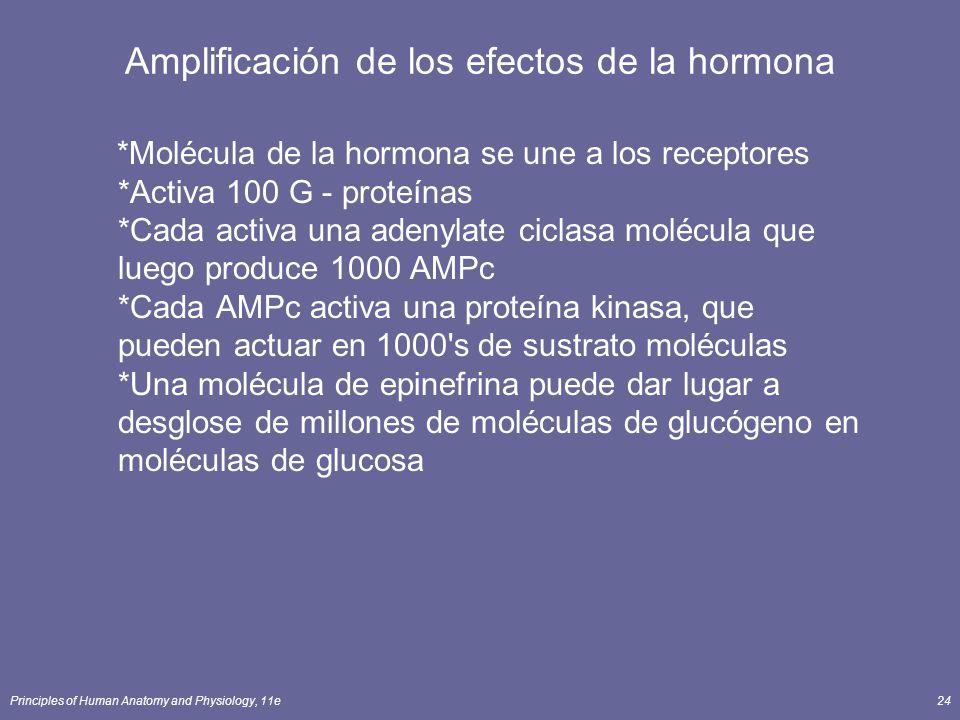 Principles of Human Anatomy and Physiology, 11e24 Amplificación de los efectos de la hormona *Molécula de la hormona se une a los receptores *Activa 1